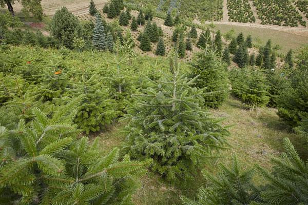 Weihnachtsbäume aus der Schweiz - Tannenbaumplantage Wälchli Weihnachtsbäume Wäckerschwend