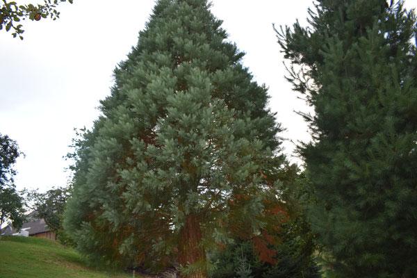 Hibalebensbaum - Tannenbaumplantage Wälchli Weihnachtsbäume Wäckerschwend