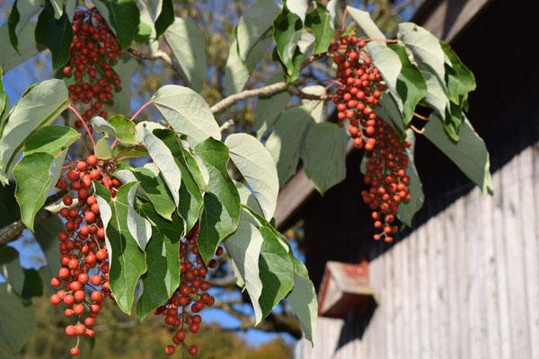Orangenkirsche - Tannenbaumplantage Wälchli Weihnachtsbäume Wäckerschwend