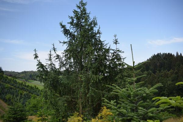 Lärche - Tannenbaumplantage Wälchli Weihnachtsbäume Wäckerschwend