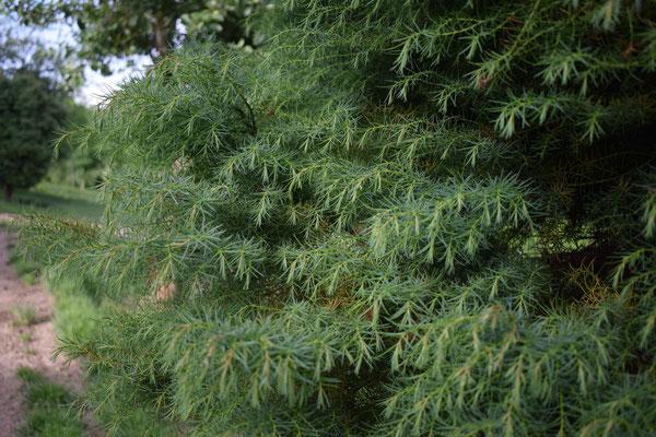 Zierliche Sicheltanne - Tannenbaumplantage Wälchli Weihnachtsbäume Wäckerschwend
