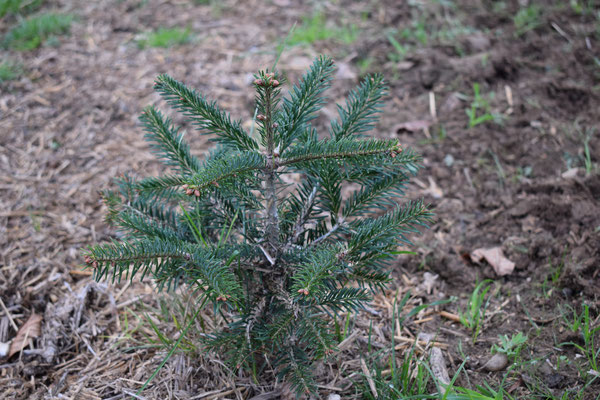 Winterstimmung - Tannenbaumplantage Wälchli Weihnachtsbäume Wäckerschwend