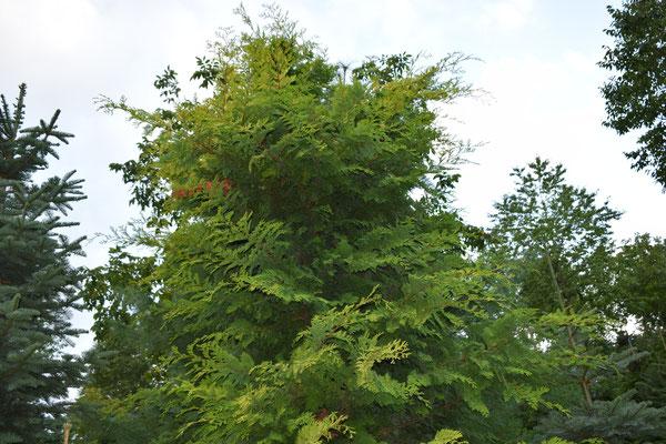 Cripsii Aurea - Tannenbaumplantage Wälchli Weihnachtsbäume Wäckerschwend