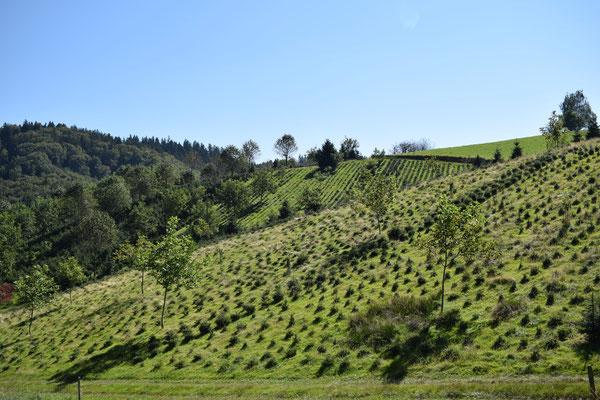 Unsere Tannenbaumplantage - Tannenbaumplantage Wälchli Weihnachtsbäume Wäckerschwend