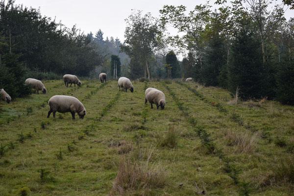 Shropshire Schafe auf unserer Plantage - Tannenbaumplantage Wälchli Weihnachtsbäume Wäckerschwend