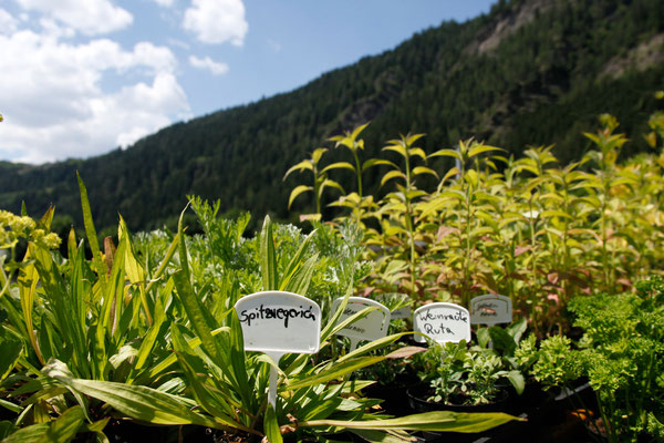 Piante Aromatiche In Vasetto Krautergarten Wipptal Giardini Aromatici