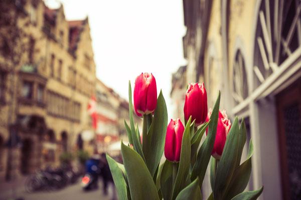 123|365 01.04.2016 - Tulpen in der Zollernstraße, Konstanz
