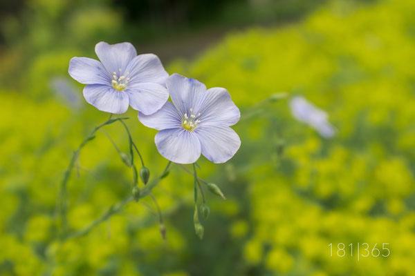 181|365 29.05.2016 - Euphorbiaceae