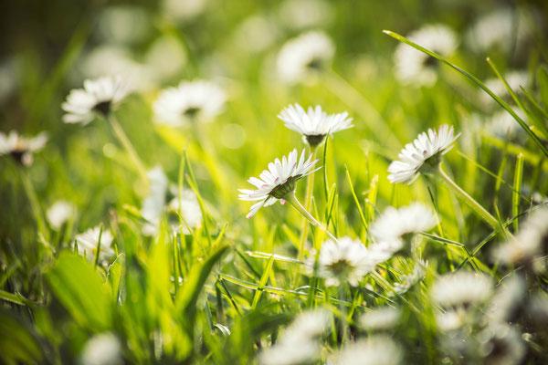 144|365 22.04.2016 - Schon wieder Gänseblümchen