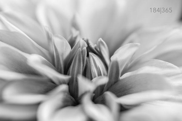 184|365 01.06.2016 - Dahlie monochrom
