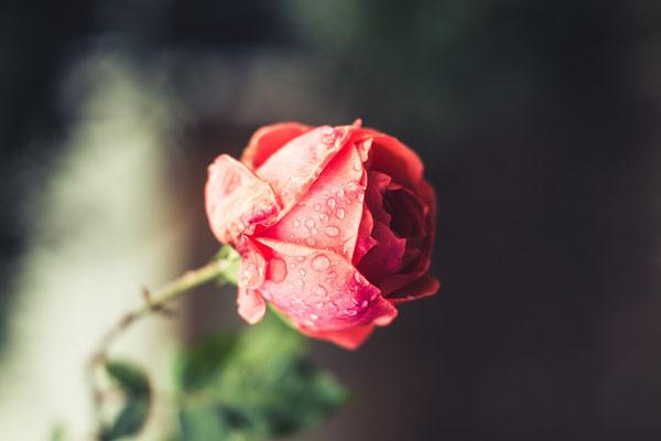 17/365 17.12.2015 - Rose