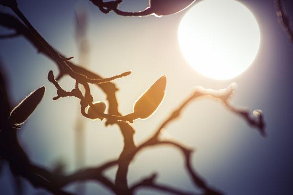 103|365 12.03.2016 Magnolien im Gegenlicht