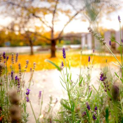345|365 09.11.2016 - Lavendel an der Neckarwiese