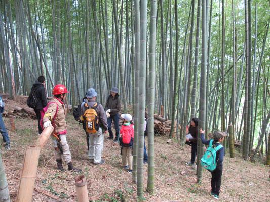 竹の子畑:竹は稲科の植物。年齢を見分ける方法。