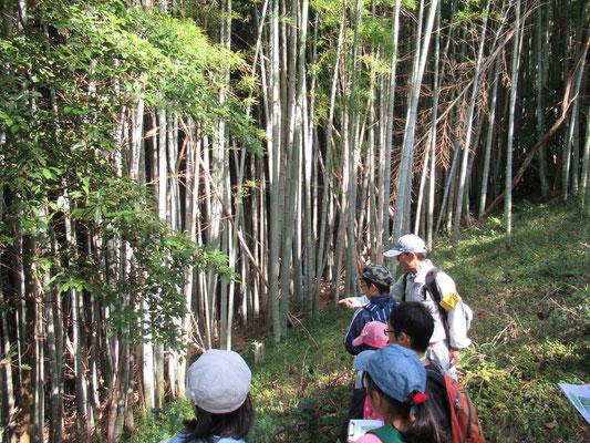 放置竹林:昔は、みかん畑や茶畑だったが、耕作放棄された後、竹が侵食して見晴らしの悪い暗い山になってしまった。