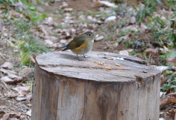 ルリビタキ(冬の渡り鳥です)
