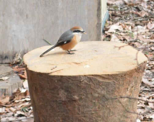 モズ(冬の渡り鳥です)