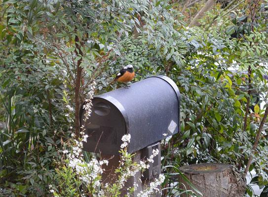 ジョウビタキ(冬の渡り鳥です)