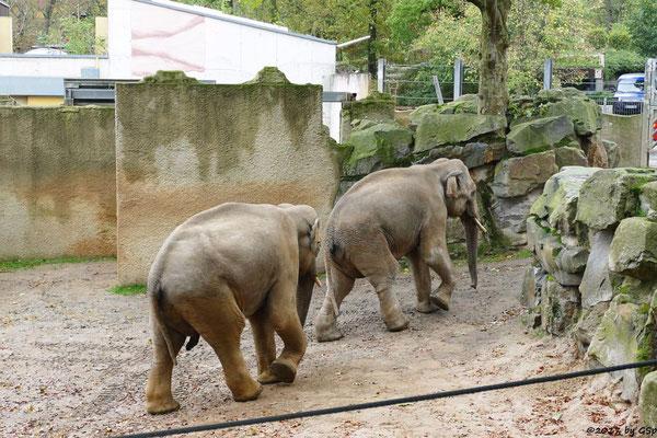 Asiatischer Elefant SHAHRUKH und SHANTI
