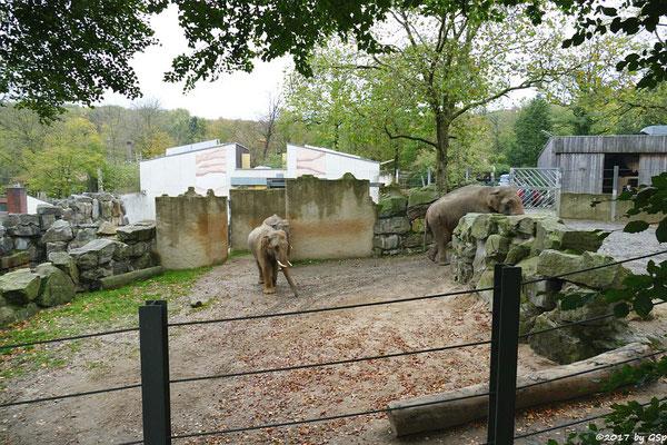 Asiatischer Elefant SHAHRUKH, SHANTI, LUKA