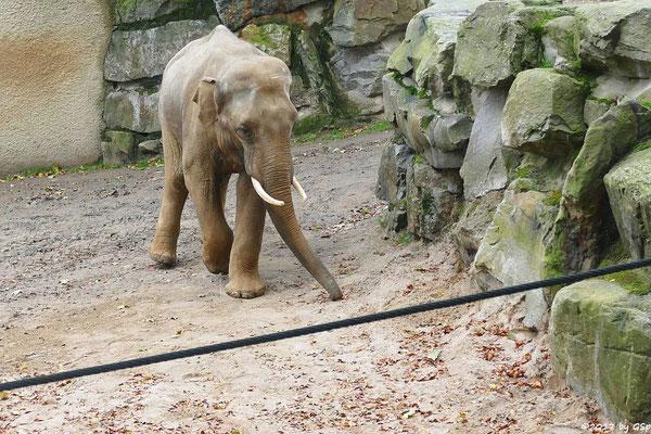 Asiatischer Elefant SHAHRUKH