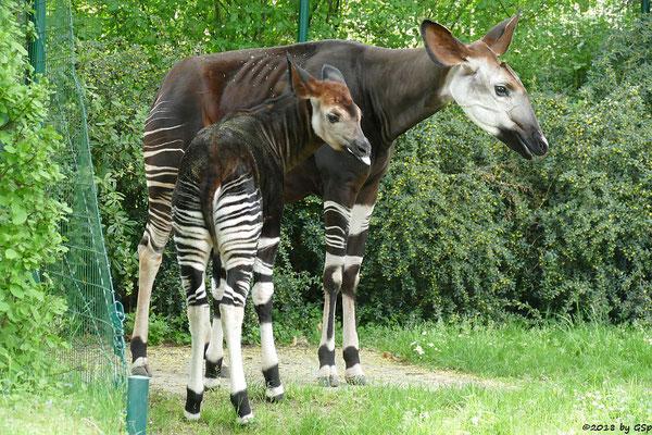 Okapi (Kurzhalsgiraffe, Waldgiraffe) ETANA mit Sohn DAYO, geb. am 9.11.17