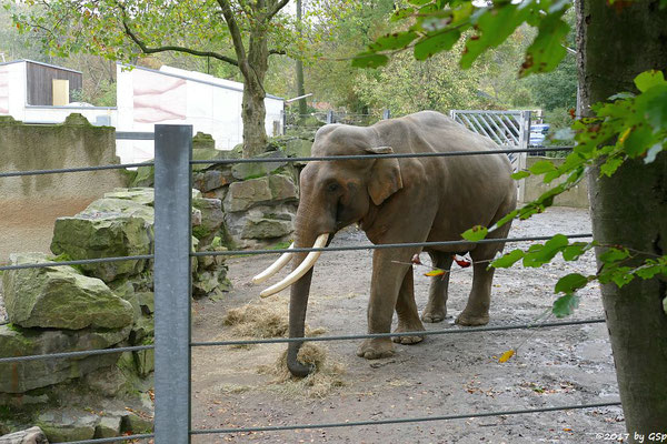 Asiatischer Elefant LUKA