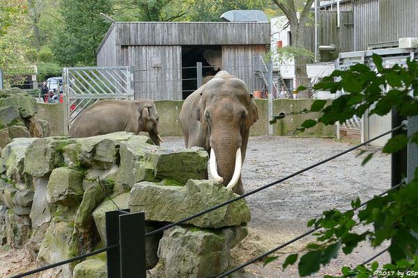 Asiatischer Elefant SHANTI und LUKA