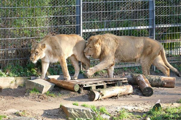 Asiatische Löwen (Indische Löwen) GINA und NAVIN