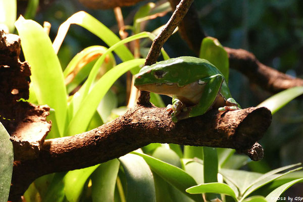 Riesen-Makifrosch (Phyllomedusa bicolor)