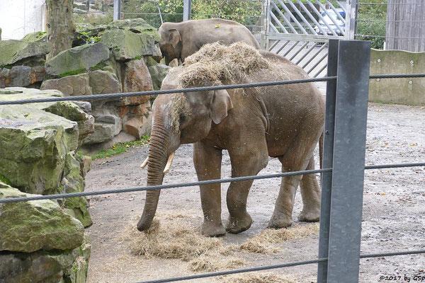 Asiatischer Elefant SHANTI und SHAHRUKH