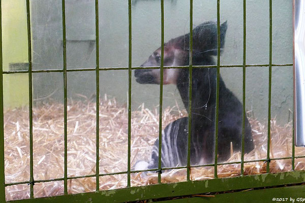 Okapi (Kurzhalsgiraffe, Waldgiraffe). geb. am 9.11.17 (6 1/2 Wochen)