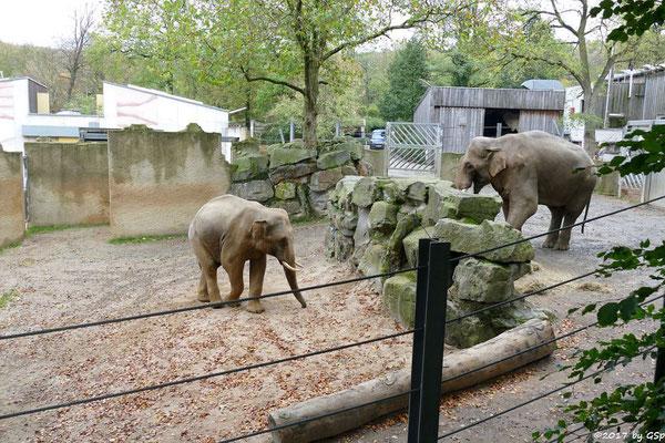 Asiatischer Elefant SHAHRUKH und LUKA