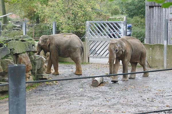 Asiatischer Elefant SHARUKH und SHANTI