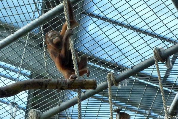 Borneo-Orang-Utan CINTA