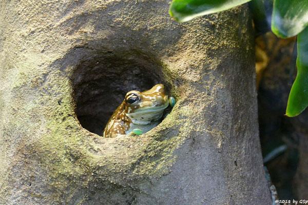 Baumhöhlen-Krötenlaubfrosch (Bunter Höhlenlaubrosch)