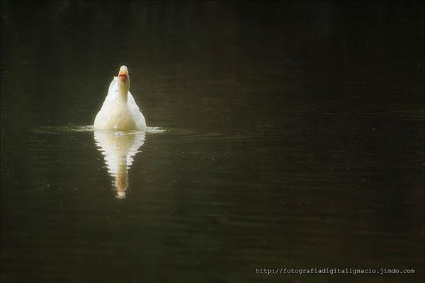 Pato en su entorno natural