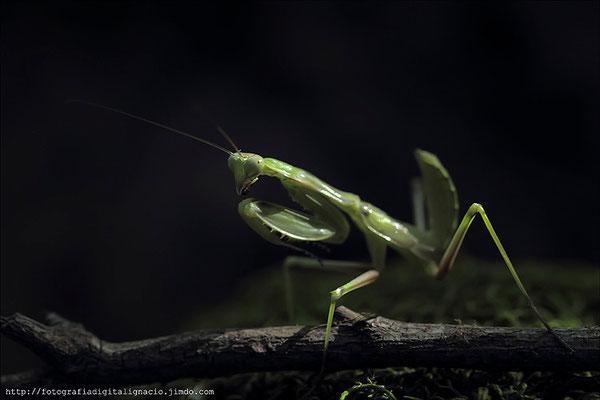 Mantis en el suelo