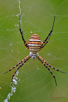 Araña tigre parte superior