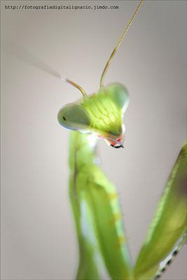 Retrato a una Mantis