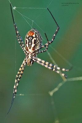 Araña tigre parte inferior