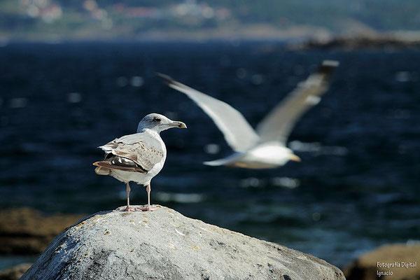 Gaviotas en las costas de Galicia