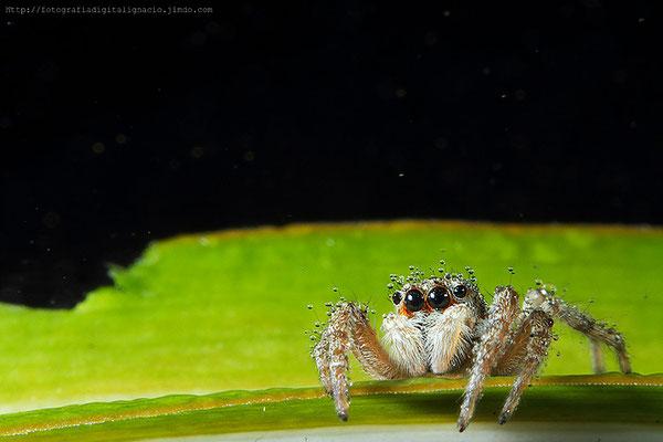 Araña bajo la lluvia, el tamaño de dicha araña es de aprox. 4mm realizada con tubos de extensión Kenko, el 100mm de Canon y cámara Canon Eos 7D