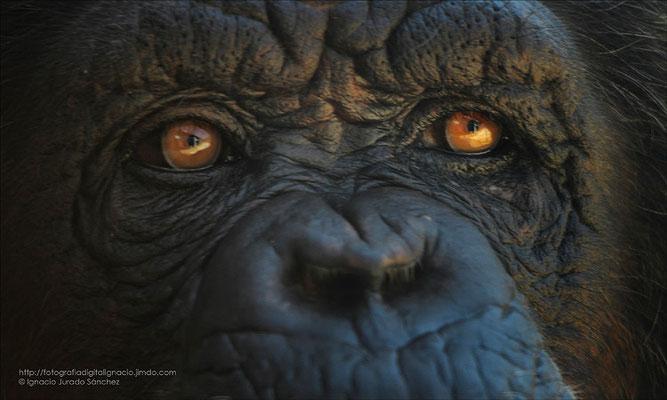 Mirada de un chimpance