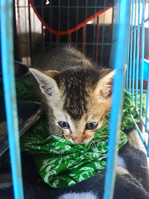 kitten at barc shelter ubud bali