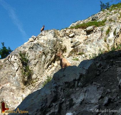 Bouquetin des Alpes - Massif de Belledonne.