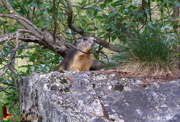 Marmotte - Pré de Madame Carle, massif des Écrins