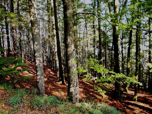 Buchenwälderf Bettlachstock bald Unesco?