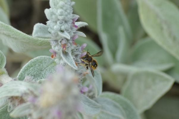 Garten-Wollbiene (Anthidium manicatum) Männchen