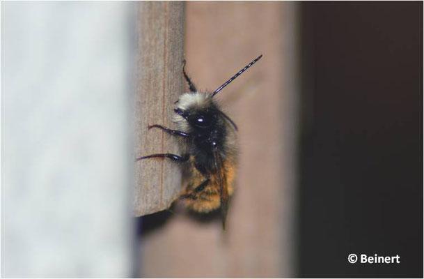 Osmia cornuta Männchen
